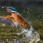 Agosto 2014 - Martin pescatore